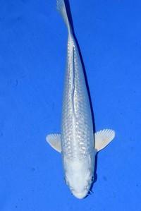 2018年産銀鱗プラチナ