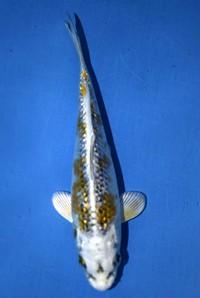 2018年産 銀鱗変わり鯉