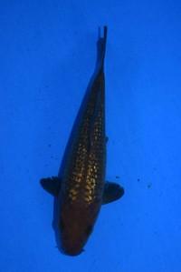 2018年産 銀鱗茶鯉