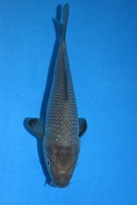 2018年産空鯉