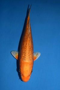 2018年産銀鱗オレンジ