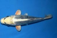 2018年産変り鯉