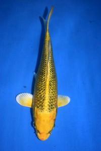 2018年産銀鱗変り鯉