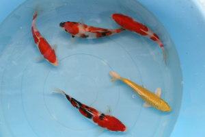 おまかせ錦鯉入門セット中(5匹)