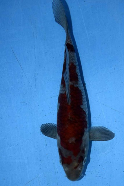 錦鯉オークション出品鯉