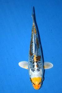 2017年産ドイツ変わり鯉