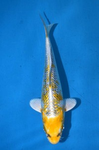 2017年産 銀鱗変わり鯉