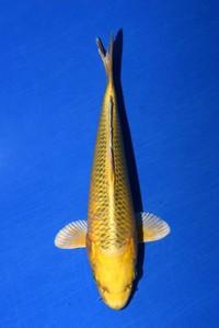 2017年産変わり鯉