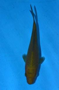 2017年産茶鯉