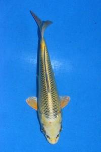 2016年産 変わり鯉