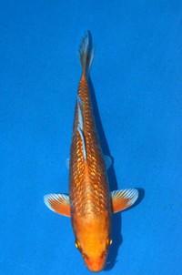 2016年産 銀鱗変わり鯉