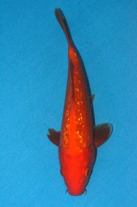 2017年産銀鱗緋鯉