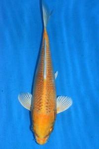 2017年産 変わり鯉
