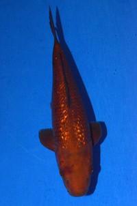 2017年産銀鱗茶鯉