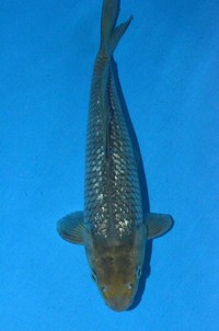 2017年産 銀鱗空鯉