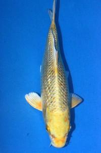 2017年産銀鱗変り鯉