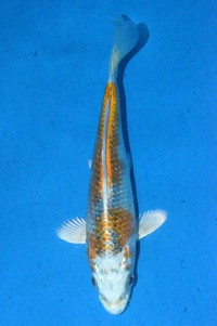 2018年産銀鱗変わり鯉