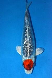 2017年産銀鱗丹頂変り鯉